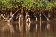 Oysters on Mangrove roots_2687