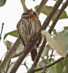 Pearl Spotted Owlet_1699