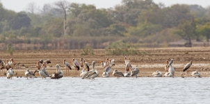 Pelicans and Storks_2036