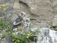 Peregrine chicks - 3335