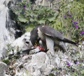 Peregrine female and chicks - 4926