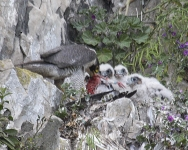 Peregrine female and chicks - 4955