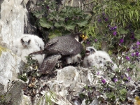 Peregrine female and chicks - 4982