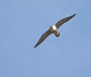 Peregrine flying - 0433