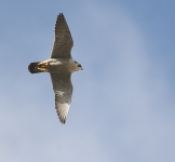 Peregrine flying - 0441