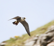 Peregrine flying - 2578