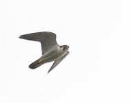 Peregrine flying - 2700