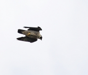 Peregrine flying - 2757