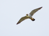 Peregrine flying - 3488