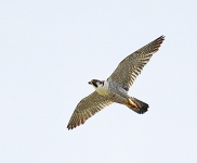Peregrine flying - 3489