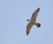 Peregrine flying - 3490