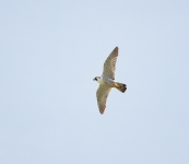 Peregrine flying - 3491