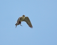 Peregrine flying - 3532