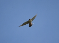 Peregrine flying - 3535