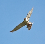 Peregrine flying - 3536