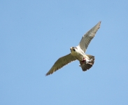 Peregrine flying - 3537