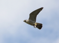Peregrine flying - 3538