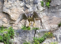 Peregrine leaving nest - 2676