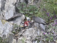 Peregrines and chicks - 4963