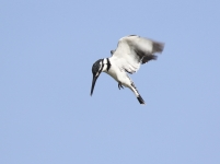 Pied KIngfisher_0772