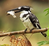 Pied Kingfisher_1063