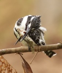 Pied Kingfisher_1078