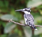 Pied Kingfisher_2396