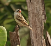 Pin tailed Whydah_1505