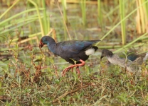 Purple swamp hen and chick_1461
