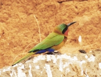 Red Throated Bee-eater_2480
