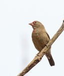 Red billed Firefinch - female_1735