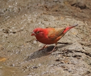 Red billed Firefinch_1240