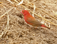 Red billed Firefinch_1751