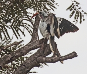 Red billed Hornbill_1655