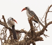 Red billed Hornbills_1102