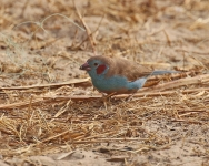 Red cheeked Cordon Bleu_1499
