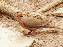 Red eyed Dove_1199