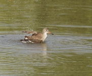 Redshank bathing_0790