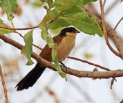 Senegal Coucal_1952