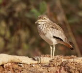 Senegal Thick Knee_2261