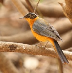 Snowy crowned Robin Chat_1210
