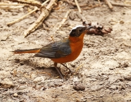 Snowy crowned Robin Chat_1213