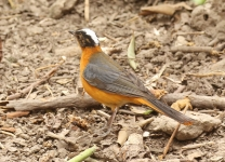 Snowy crowned Robin Chat_1214