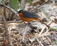 Snowy crowned Robin Chat_3307