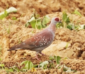 Speckled Pigeon_1038