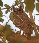 Spotted Eagle Owl_3079
