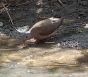Spotted Wood Dove_3236