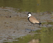 Spur winged Plover_0761