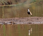Spur winged Plover_2179