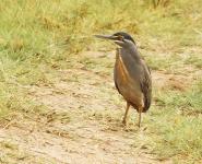 Striated Heron_1020